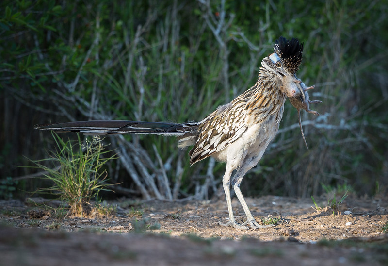 Great Road Runner and Mouse