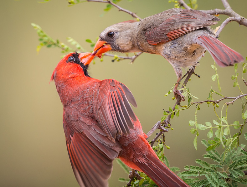 Northern Cardinals Feeding