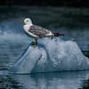 Bird on Ice