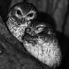 Cuban Screech Owls