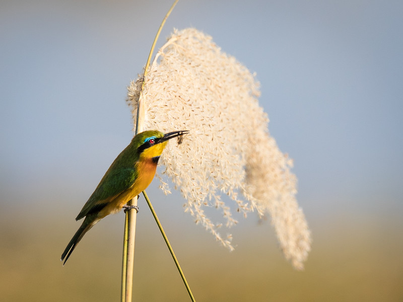Little Bee Eater with Little Bee