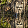 Raccoon Reflection
