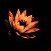 Lily in Orange