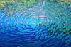 Circle of Fish