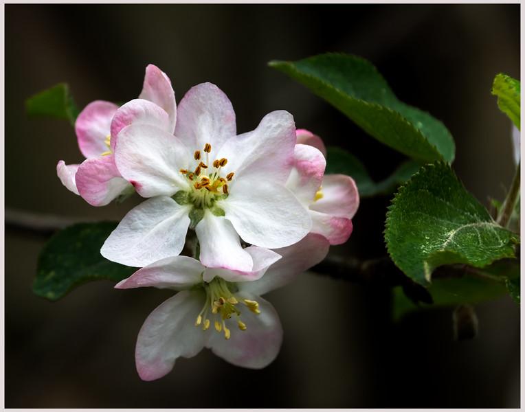 Apple Bloom
