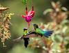 Fiery Throated Hummingbirds
