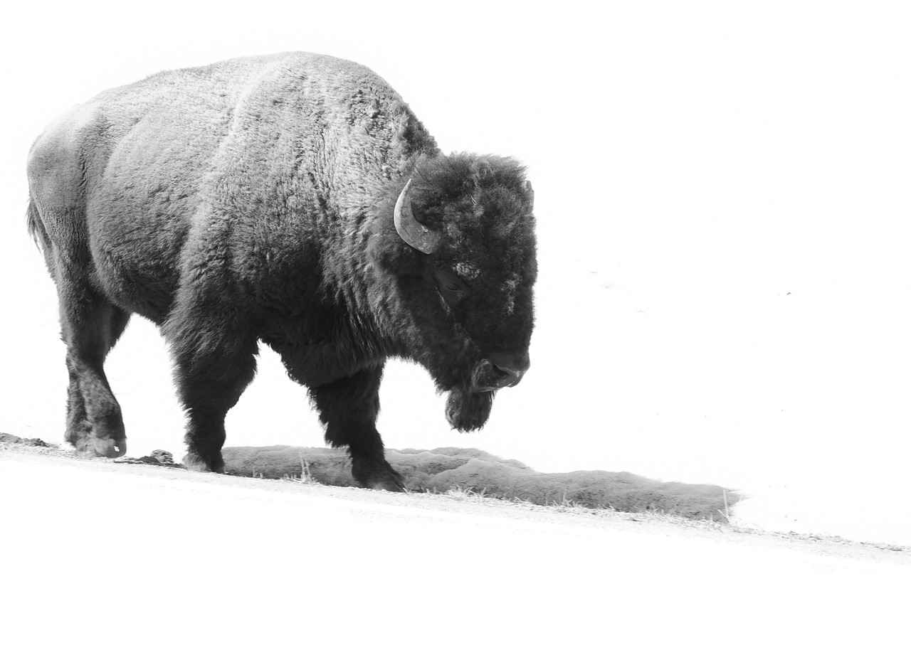 July 6th, 2013<br /> <br /> Another buffalo, just in black and white.<br /> Happy Saturday!