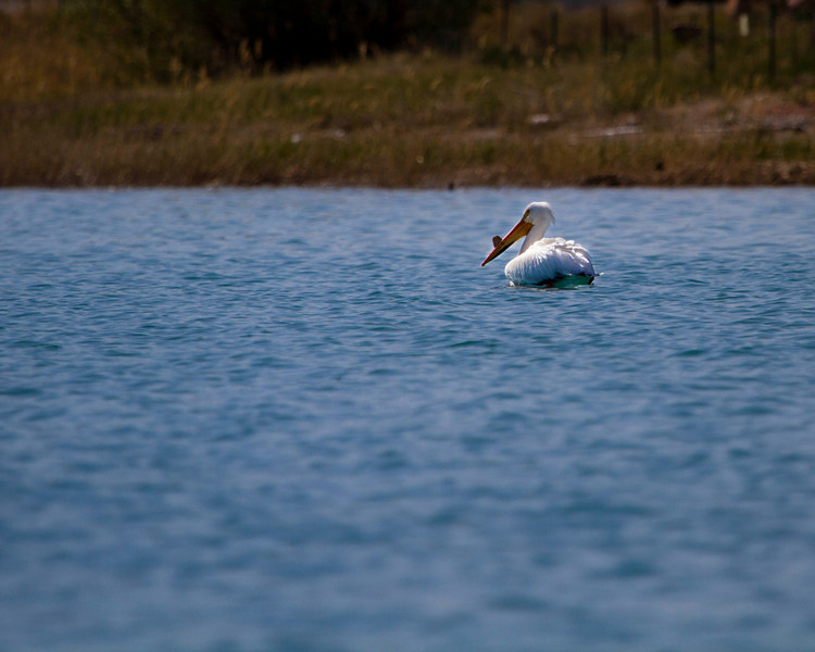 May 18th, 2013 - Afloat<br /> <br /> Hope you all enjoy your weekend!<br /> <br /> Did some checking to make sure, I think you're right Dycas, it appears to be a white pelican.