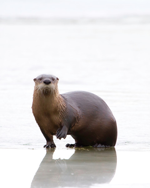March 11th, 2012<br /> <br /> Another shot of the river otter. I am still processing shots of him.<br /> Happy Monday!