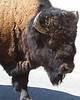 July 2nd, 2013 - Buffalo Portrait<br /> <br /> It's July and I'm still not finished processing my Yellowstone shots..I took quite a few. I didn't walk up to this guy, he was walking down the road and I was taking shots from the sunroof in the car.<br /> <br /> Happy Tuesday!