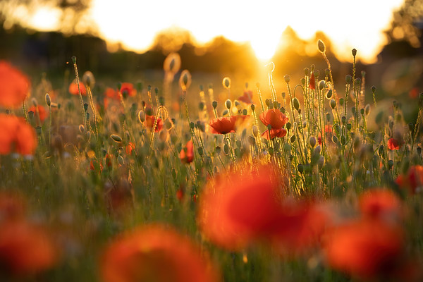 Poppies at sunset Pt. II