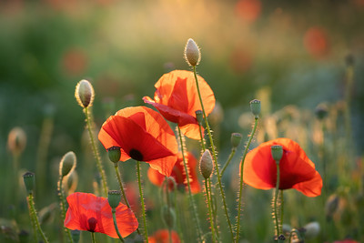 Poppies at sunset Pt. III