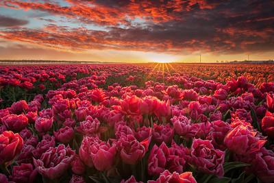 Tulip magnificence