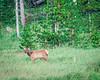 Elk Calf
