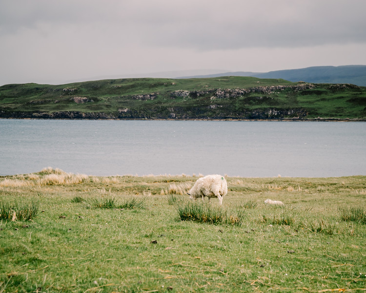 Scotland: Arguably, The Most Beautiful Location to Be a Sheep