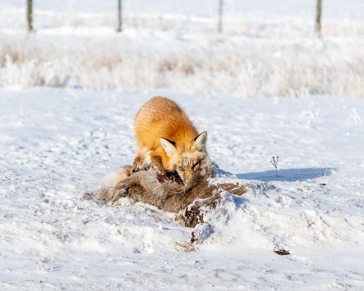 Fox Scavenger