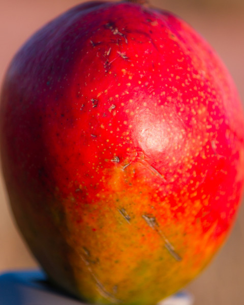 """August 18th, 2011 - Mango Battle Scars!<br /> <br /> """"There is something beautiful about all scars  of whatever nature. A scar means the hurt is over, the wound is closed and healed, done with."""" ~ Harry Crews quotes <br /> <br /> I was given a homework assignment by Hillary! It was to go buy a mango (a firm one) and eat it. It didn't occurr to me until I got home that I managed to pick the only one that wasn't purely green. I also forgot about the 'firm' part once I got to the store and ended up with the one that looks like someone tried to bowl with! <br /> <br /> Unfortunately, I have not had a chance to eat it yet! I decided to save that for tonight when I can take some shots of the moment in good light!<br /> <br /> Just wanted to thank anyone that's stopped by or left a comment lately, your time is always appreciated!<br /> <br /> Happy Thursday!"""