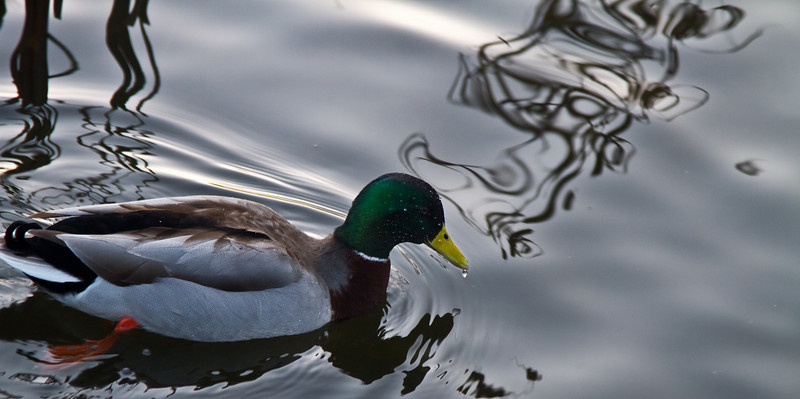 February 15th, 2011<br /> <br /> Just a duck!<br /> Happy Tuesday!