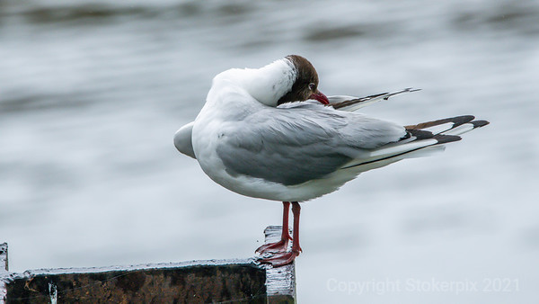 Black Headed Gull doing some pre-flight wing adjustments