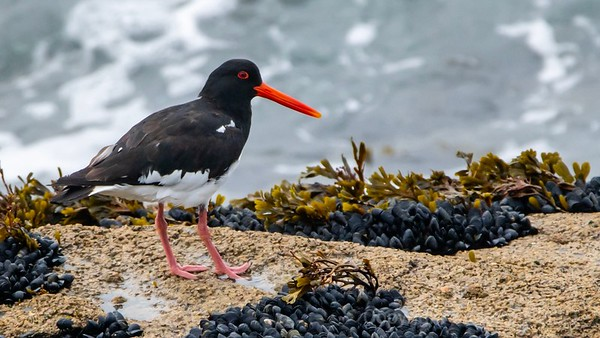 Oystercatcher in iridescent red