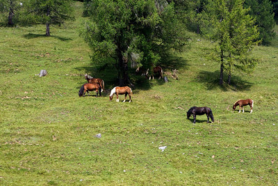 Horses grazing on the Dellacher Alm.
