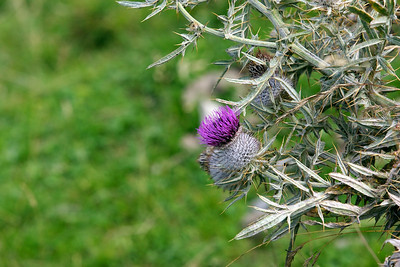 A thistle blooming on the alm.