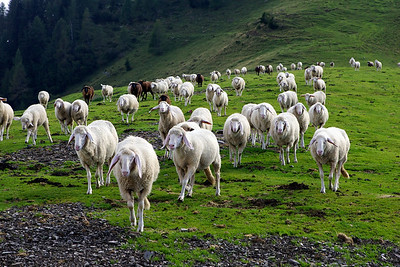 It's a sheep stampede on the alm!  And they're headed for us!!