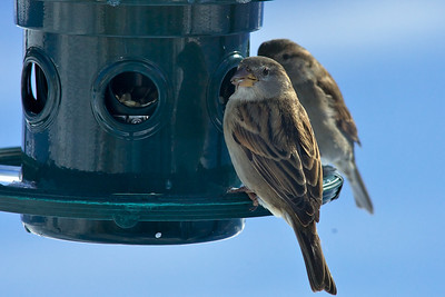 Common sparrows at the feeder