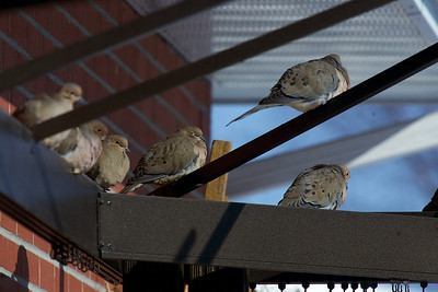 Mourning doves sitting in the warm sun on the gazebo frame