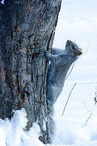 Gray squirrel at the base of the crab apple tree