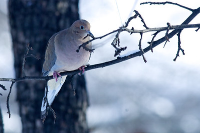 Mourning Dove in the crab apple tree