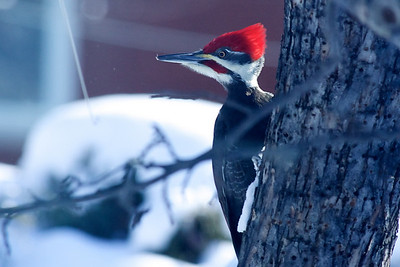 Pileated woodpecker in the crab apple tree