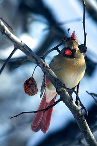 Female Easter Cardinal