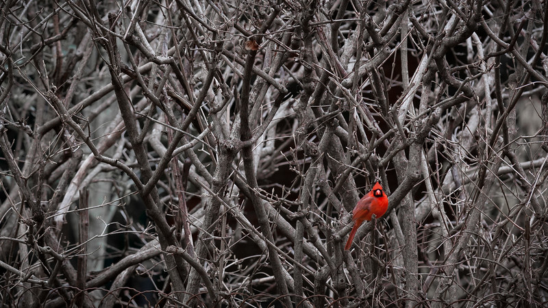 Winter Cardinal, Louisville, KY