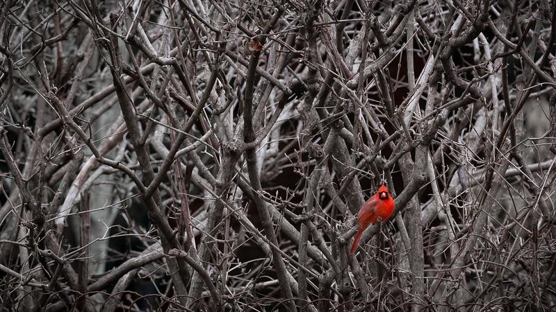 Winter Cardinal, Louisville, KY