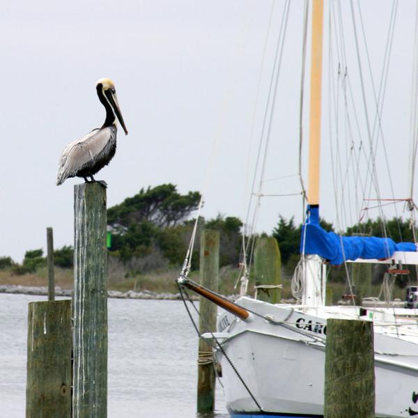 OBX - Ocracoke pelican - April 8, 2003