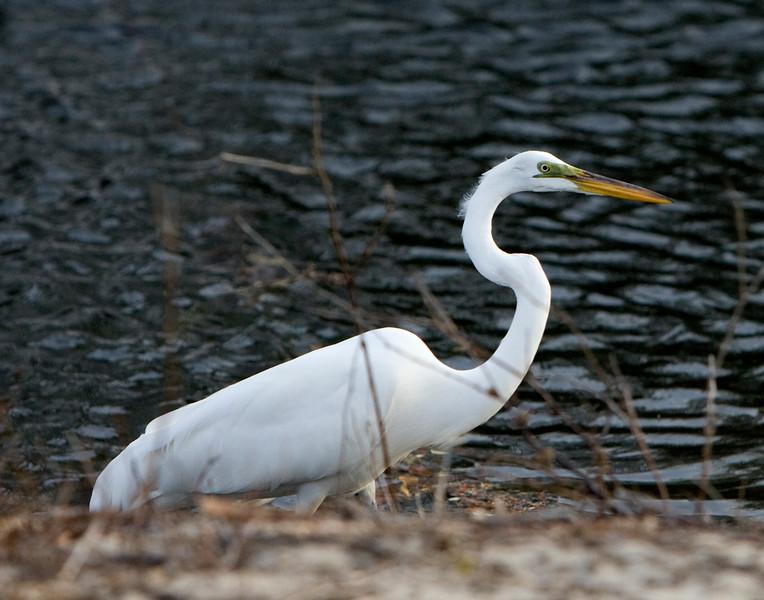 White egret - Outer Banks, NC - 2009