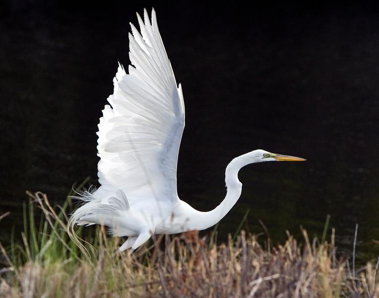 White egret - May 1