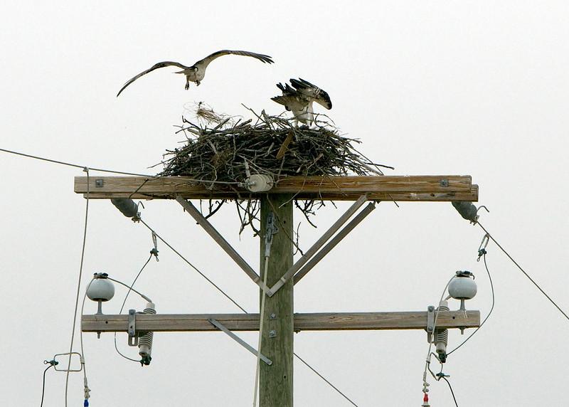 OBX 2009 - Osprey nest - April 29