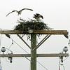 Osprey nest - 2009