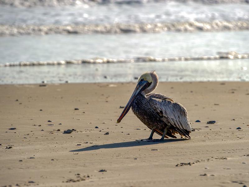 Rare sighting of pelican on the beach - Nov. 5, 2012