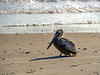 Rare sighting of pelican on the beach - Nov. 5, 2012