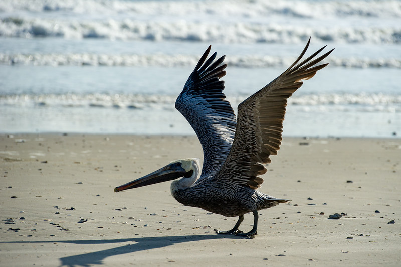 Pelican preparing to take off