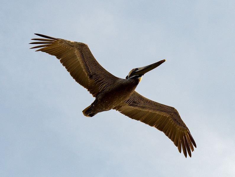 Pelican - Outer Banks, NC - 2014