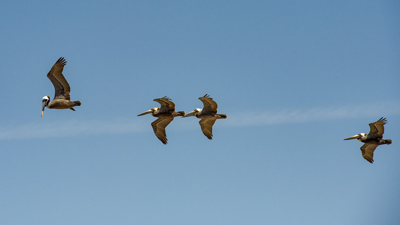 Pelicans fly overhead on our last day in OBX