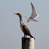 Double-crested Cormorant atop the post