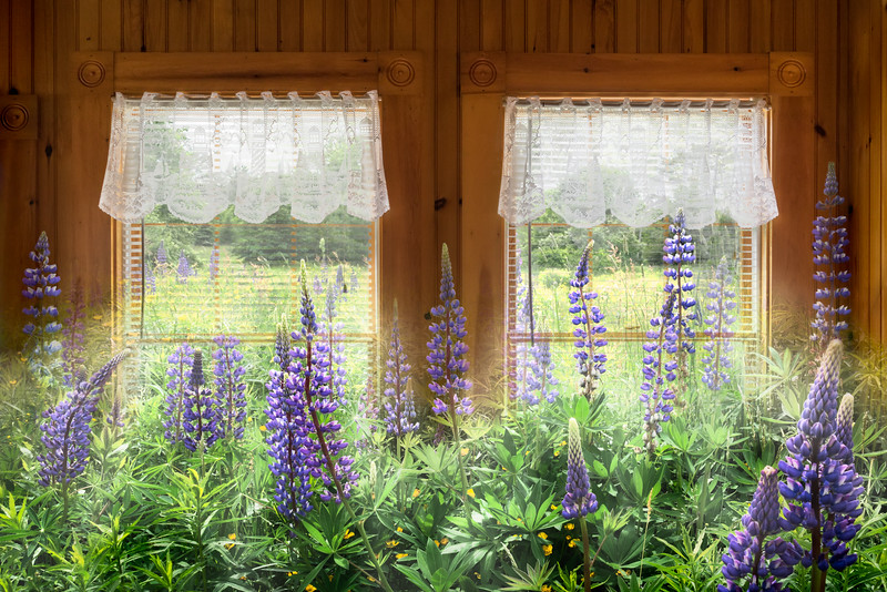 Lupines and Lace