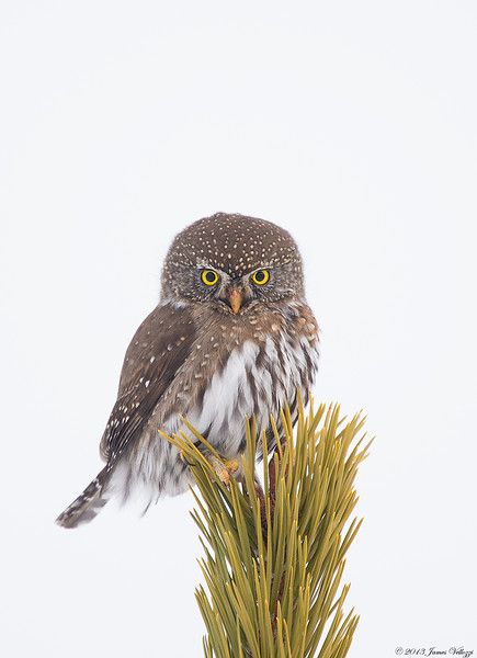Northern Pygmy-Owl, Glaucidium gnoma
