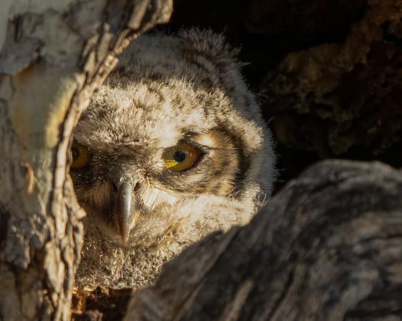 Great Horned Owl-ette