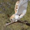 Tyto takes a bow [Tyto Alba - Barn Owl]